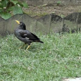 A second attempt at establishing the fledgling period of Javan Myna