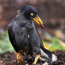 Javan Mynas Anting With Millipedes