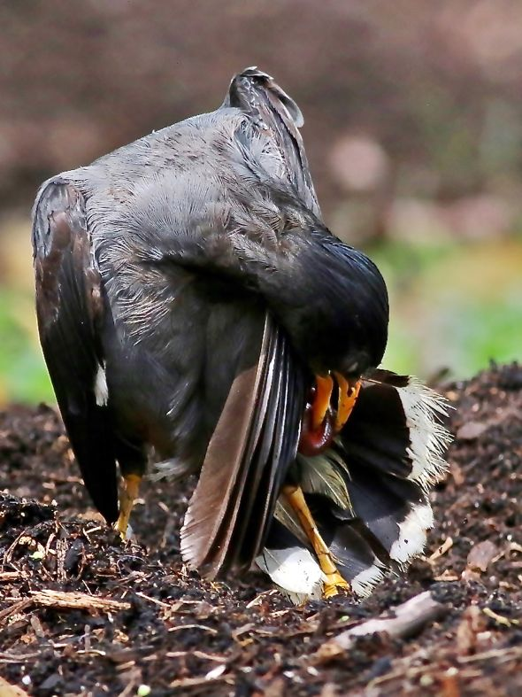 Javan Myna anting with millipede (Photo credit: Kwong Wai Chong)