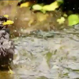 Javan Myna bathing in a stream