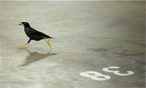 Javan Myna takes on a dragonfly