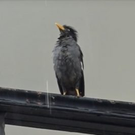 Javan Myna enjoying the drizzle
