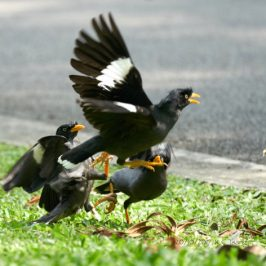 Two Javan Mynas bullying another