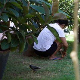 Javan Myna and grass cutting