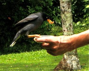 Hand feeding of wild Javan Mynas