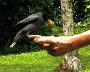 Hand feeding of wild Javan Mynas