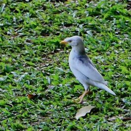 Another Leucistic Javan Myna spotted
