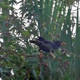 Javan Myna feeding on Singapore Rhododendron fruits