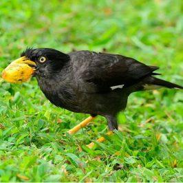 Javan Myna eats <em>Elaeis guineensis</em> fruit