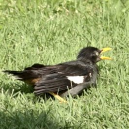 Another Javan Myna soaking in the sun