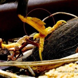 Growth on the tarsus of a Javan Myna