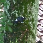 Javan Myna clinging onto a tree trunk