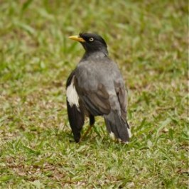 Javan Myna with deformed wing