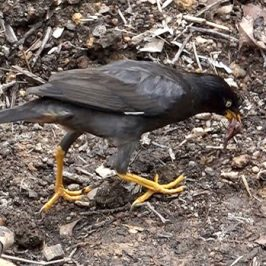 Javan Mynas foraging for chicks in the nest