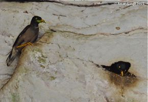 Nesting of Jungle Myna on a limestone outcrops