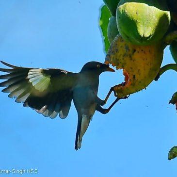 Jungle Myna Acridotheres fuscus – feeding on papaya