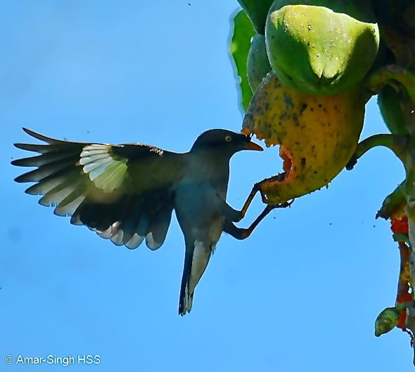 Jungle Myna Acridotheres fuscus - feeding on papaya