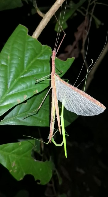 Phasmid Necroscia confusa (stick insect) mating