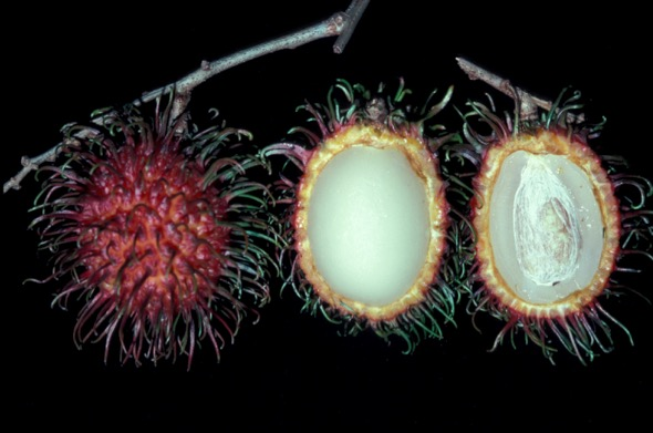 Rambutan fruits, cup open to show flesh and seed (Photo credit: YC Wee)