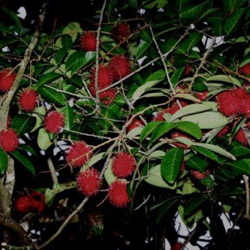 Nephelium lappaceum, the rambutan tree