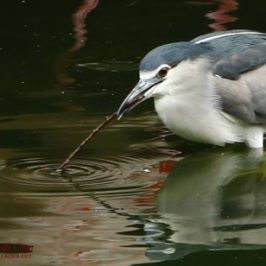 Black-crowned Night-heron baiting fish