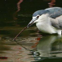 Black-crowned Night-heron baiting fish