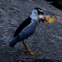 Black-crowned Night-heron caught a large fish