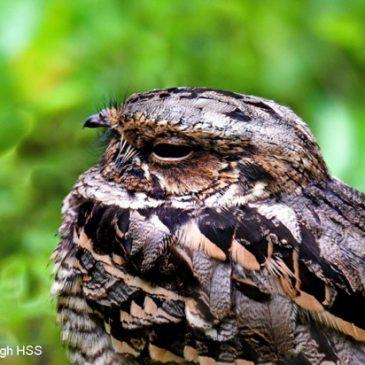 Resident Large-tailed Nightjar