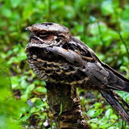 Large-tailed Nightjar in the garden