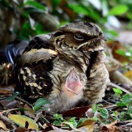Large-tailed Nightjar's enormous gape