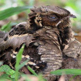 Camouflage of a Large-tailed Nightjar chick