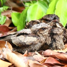 Large-tailed Nightjar's large gape