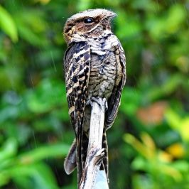 Pectinate Claw – Large-tailed Nightjar