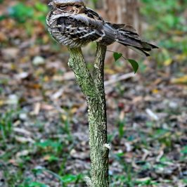Large-tailed Nightjar – perch and behaviour in heavy rain