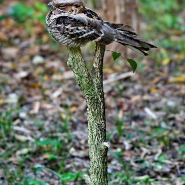 Large-tailed Nightjar – perch and behaviour in heavy rain