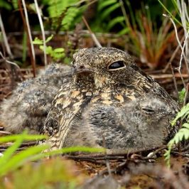 Savanna Nightjar – Chick development