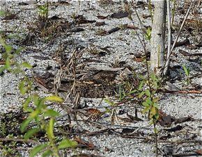 Savannah Nightjar nesting in Ipoh, Malaysia
