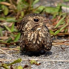 Immature Savannah Nightjar