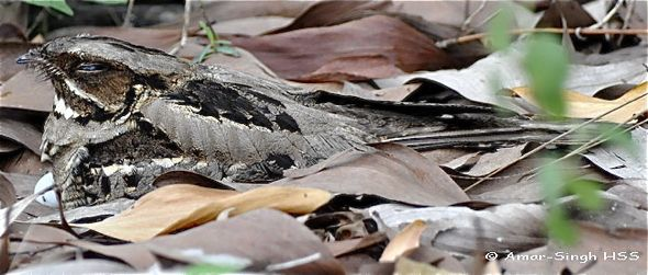 Large-tailed Nightjar's social/mating behaviour.