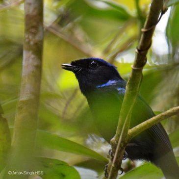 Large Niltava – warning calls at nest
