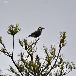 Birding in Taiwan: 4. Spotted Nutcracker