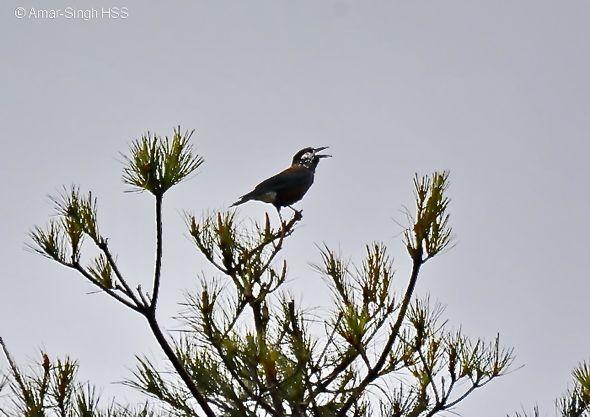 Birding in Taiwan: 4. Spotted Nutcracker