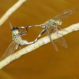 VARIEGATED GREEN SKIMMER MATING