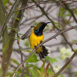 Olive-backed Sunbird: Male eclipse