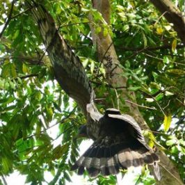An Oriental Honey-buzzard entangled in a tree