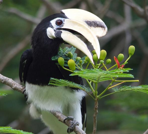 Oriental Pied Hornbill takes a flower bud