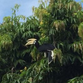 Oriental Pied Hornbills are getting common in urban Singapore