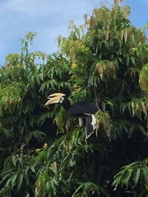 Oriental Pied Hornbills are getting common in urban Singapore
