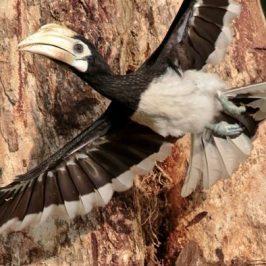Oriental Pied Hornbill Family