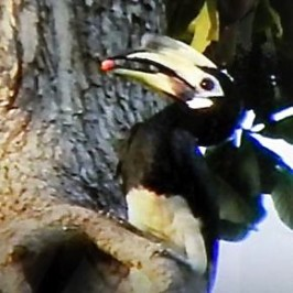Hornbills in Changi feeding nestlings – March 2014